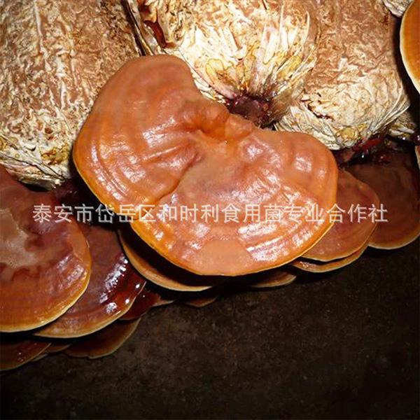 灵芝食用菌